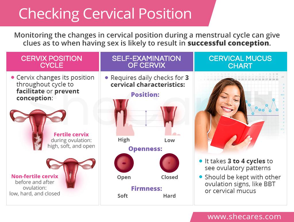 How does cervical mucus stages help predict fertility