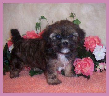 Black Shorkie Shorkie Puppies Yorkie Puppy Pictures