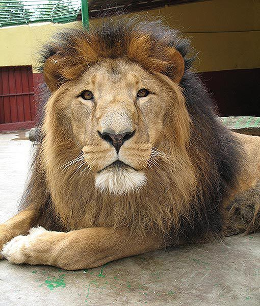 Conservationists Are Pushing To Get The Addis Ababa Lions