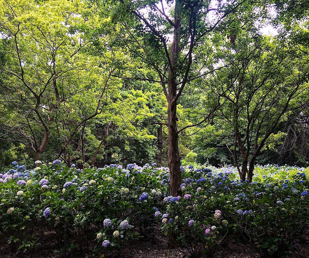 ***Hydrangeas (Vergelegen Wine Estate, South Africa) By