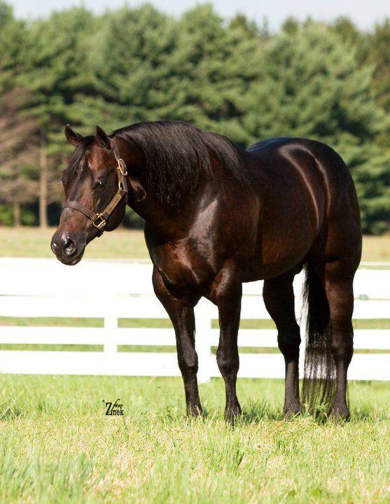 Quarter horse stallion invitation only quarter horse a breed all quarter horse stallion invitation only stopboris Choice Image