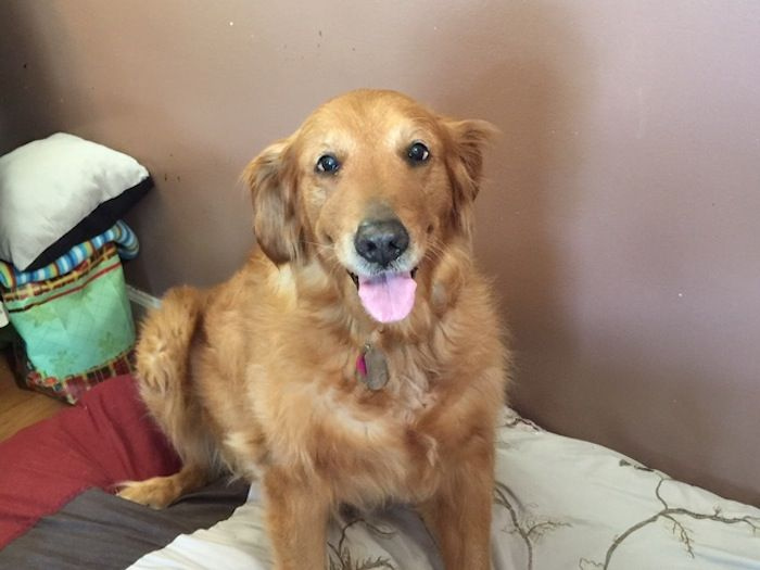 MildMannered Golden Protects Owner From Home Invasion