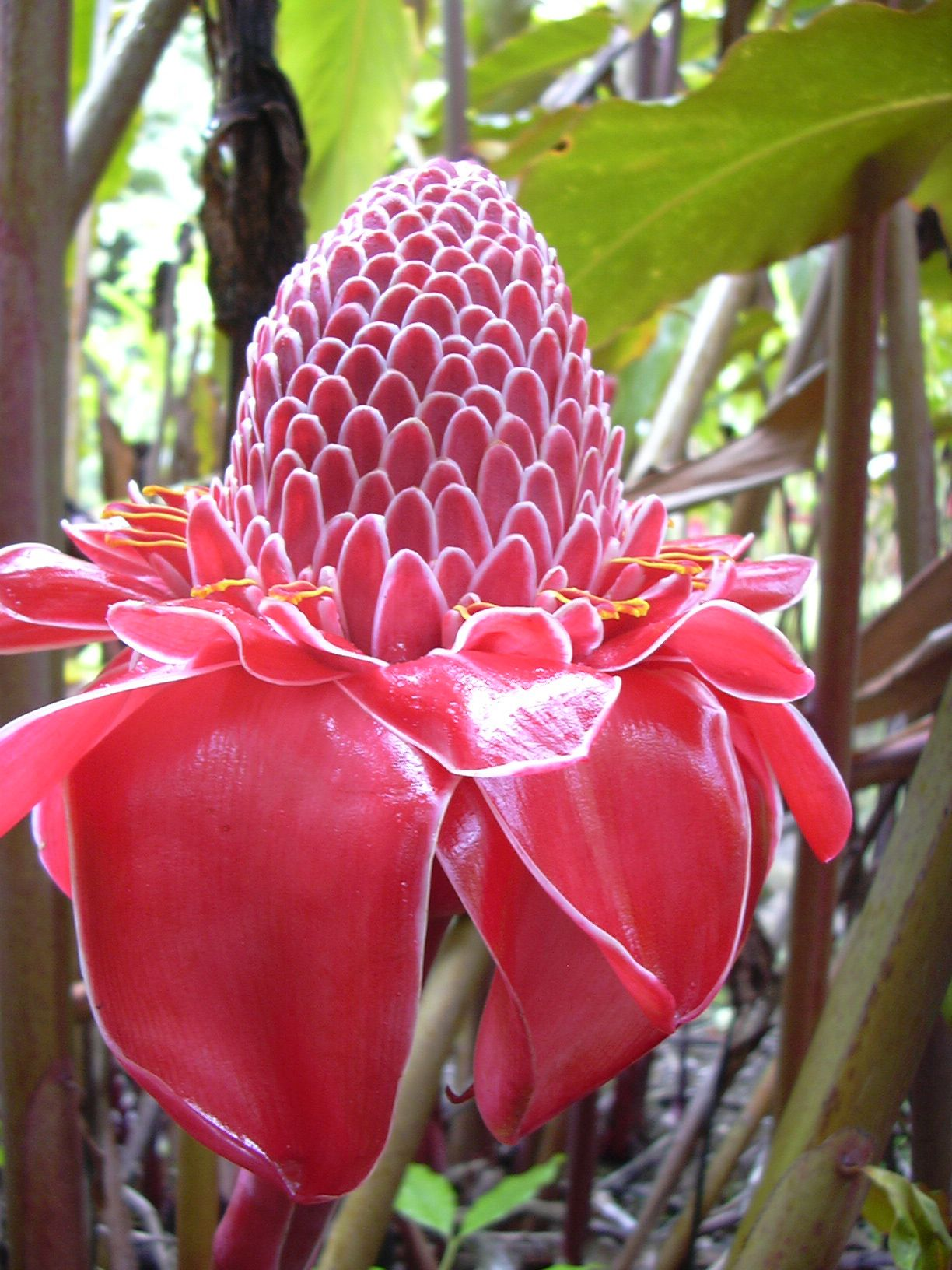 Etlingera Elatior Botanical Synonym Phaeomeria Magnifica Commonly Known As Torch Ginger Red Ginger Lily Torch Li Bunga Eksotis Bunga Tropis Menanam