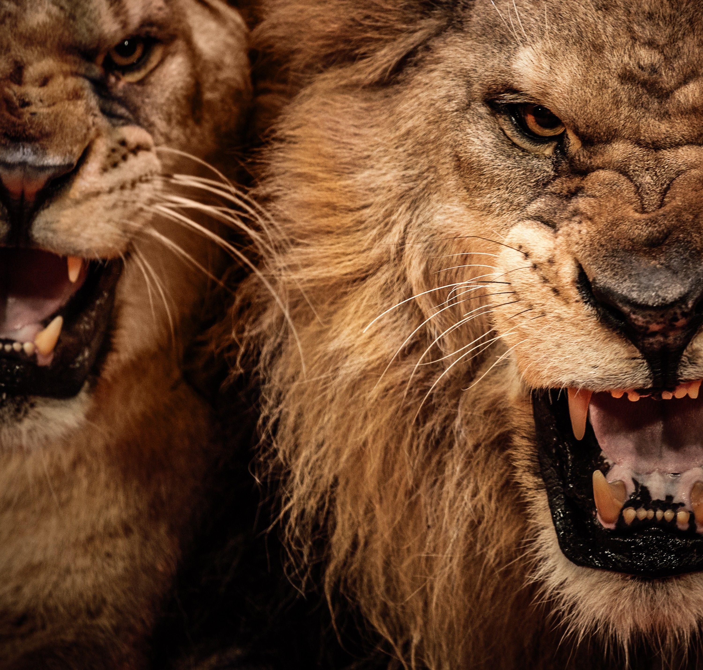 lion teeth hd wallpapers