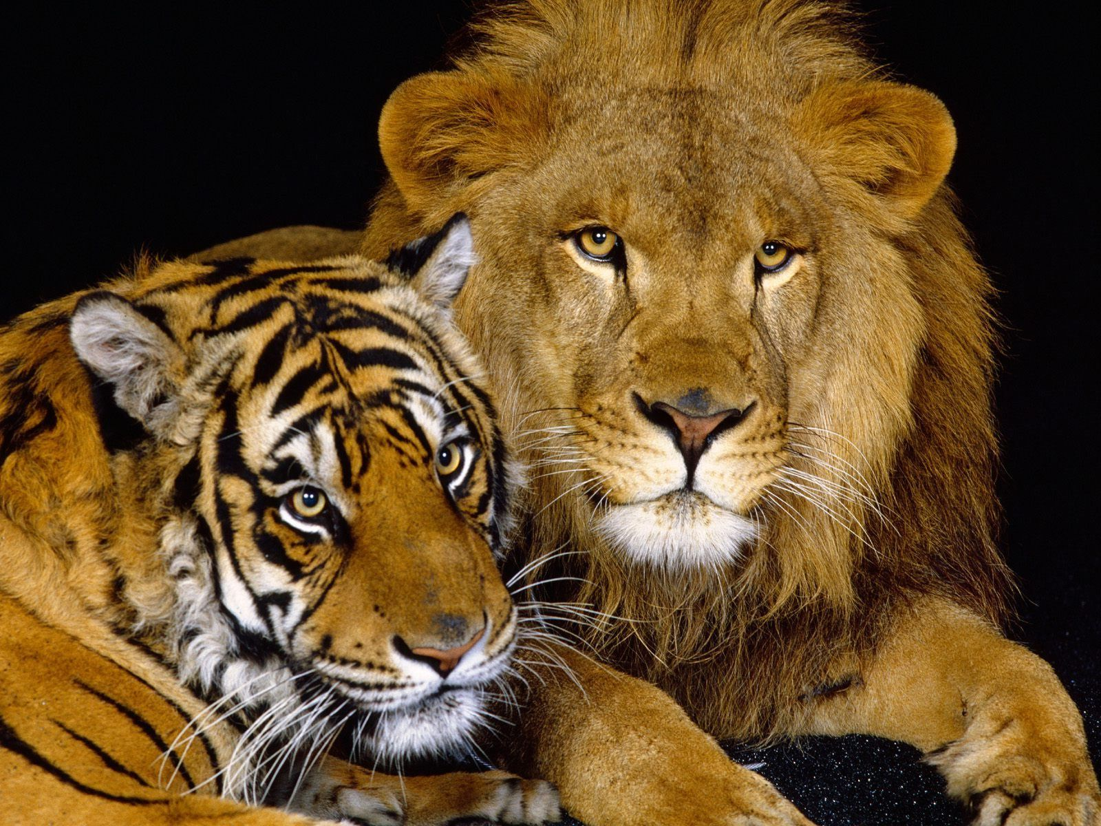lion and tiger wallpaper - photo #3