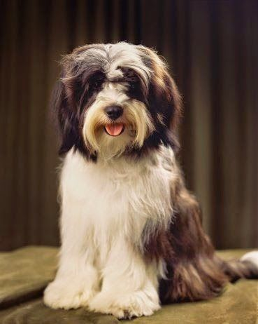 Tibetan Terrier Is A Small Medium Sized