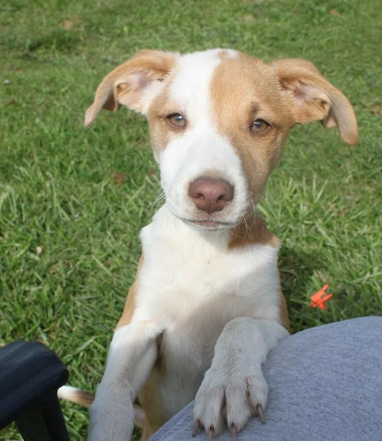 Adopt Jenson On Puppy Mix Beagle Mix Puppies Springer Puppies