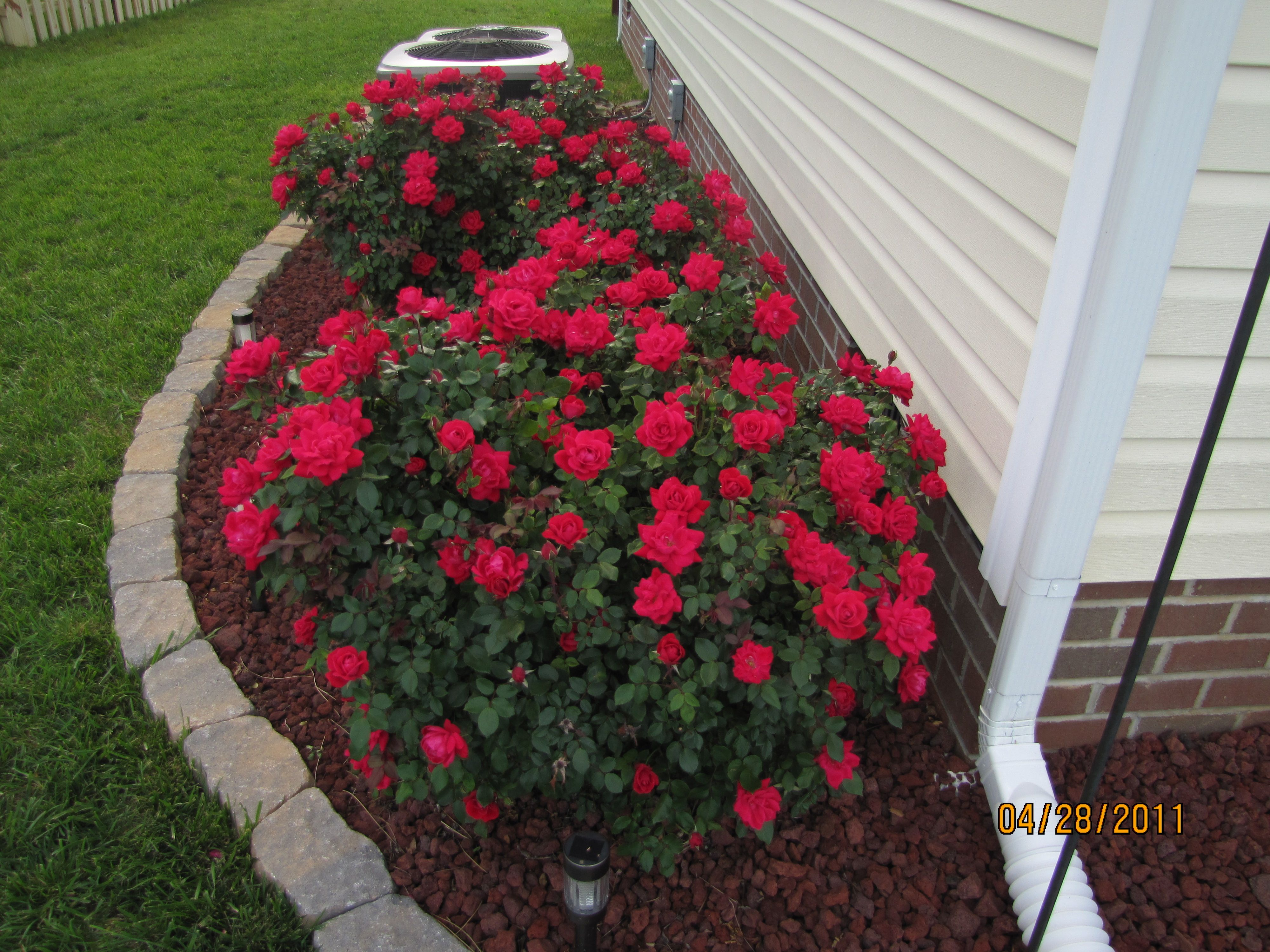 Roses In Garden: My Double Knock Out Roses From Last Summer That Just Keep