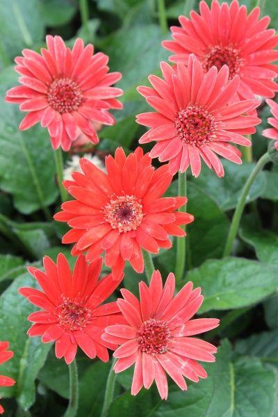 Gerbera Drakensberg Scarlet Summer Flowers To Plant Plants Planting Flowers