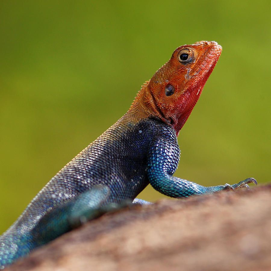 Male Redheaded Rock Agama Animals Pictures To Draw Reptiles And Amphibians
