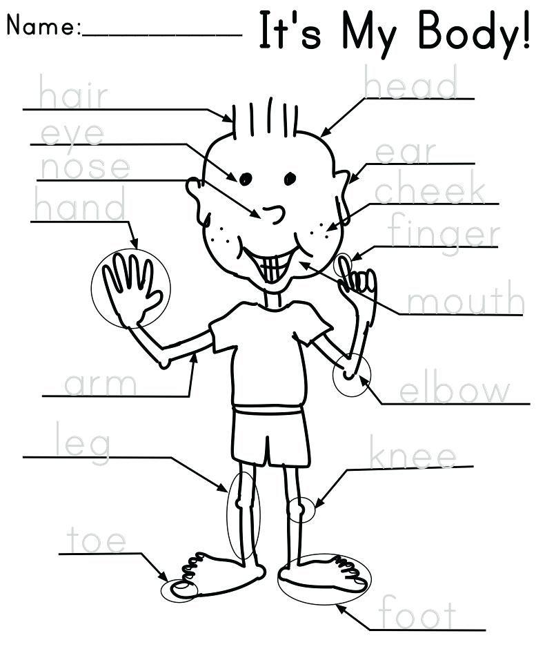 body worksheets for preschool kindergarten human science