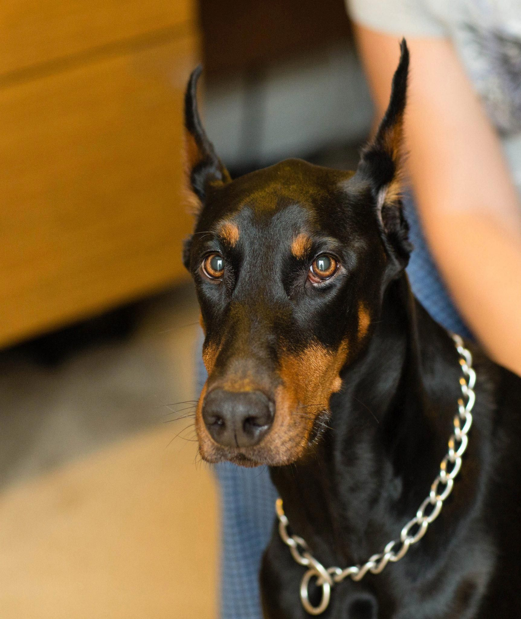 Discover The Dobermans Pup Grooming Dobermangang Dobermanoftheday Dobermanpinschertraining Doberman Pinscher Dog Dobermann Pinscher Doberman Pinscher Puppy