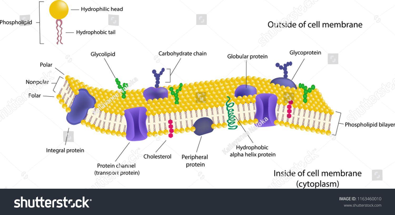 Diagram Phospholipid Bilayer