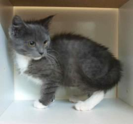 Socks Handsome Gray And White Kitten Is An Adoptable Domestic