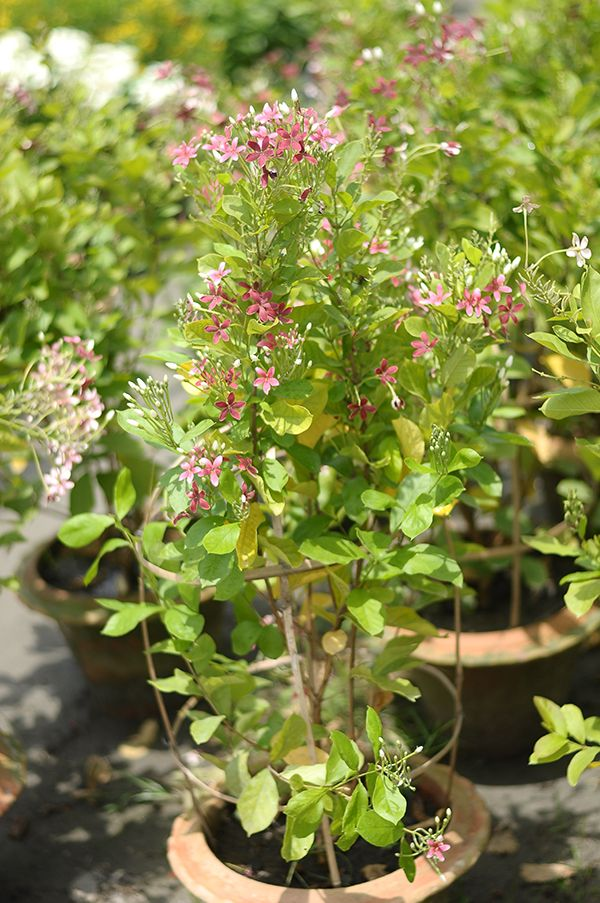 beauteous house plants names. Plan Name  Madhobi Lota Plant Type Semi Outdoor Day Light Yes A