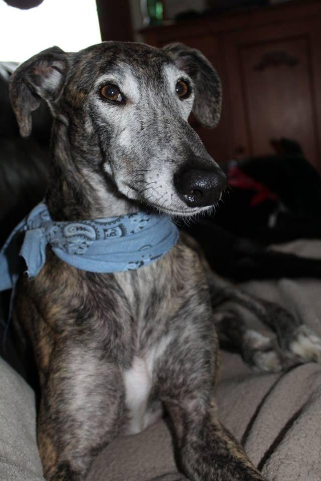 Bengal, galgo espagnol   Grey hound dog, Greyhound ...