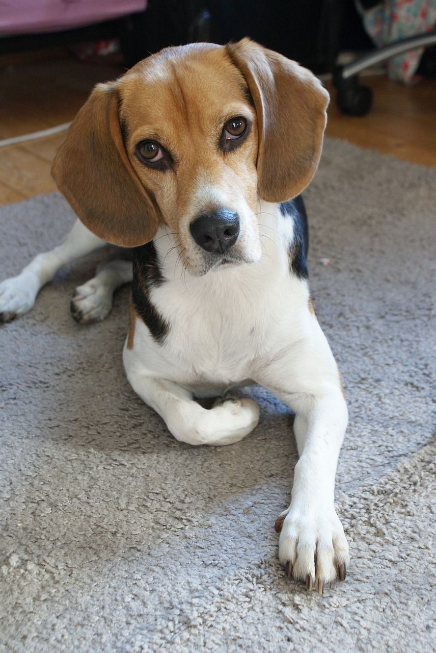 Pin On Beagle Love