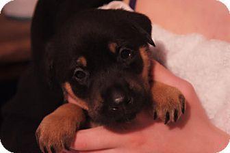 Rottweiler Puppies For Sale In Michigan Berkley Rottweiler