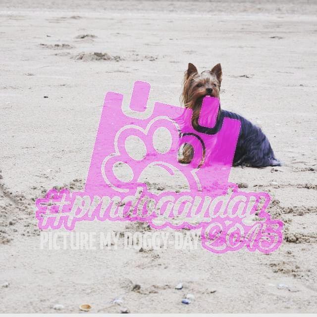 Morgen findet der 1.PICTURE MY DOGGY DAY statt und ihr könnt dabei sein!  Alles über die tolle Hunde-Fotoaktion und wie ihr mitmachen könnt, erfahrt ihr unter http://deryorkshireterrier.wordpress.com/2015/08/21/picture-my-doggy-day-2015-pmdoggyday2015/   Postet eure Fotos mit den Hashtags #pmdoggyday2015 und #yorkshireterrierblog und zeigt euren Sonntag mit eurem Liebling!  #yorkie #Yorkshireterrier #hund #dog #blogger #dogblog #dogsofinstagram #dogblogger  #hundeblog #bloggeraktion