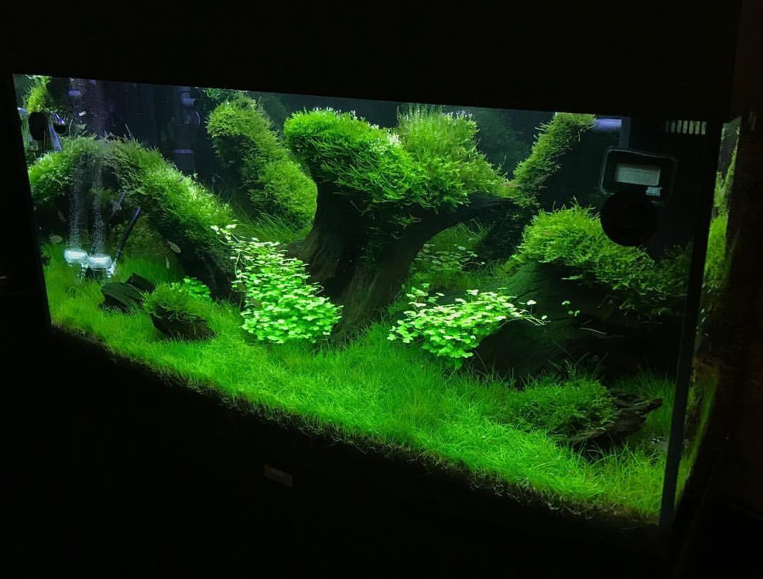 "16 Likes, 1 Comments - Кислов Андрей (@_greenplants_) on Instagram: ""#plantedtank #aquascape #акваскейп #природныйаквариум #мохяванский #мангроваякоряга #елеохарис…"""