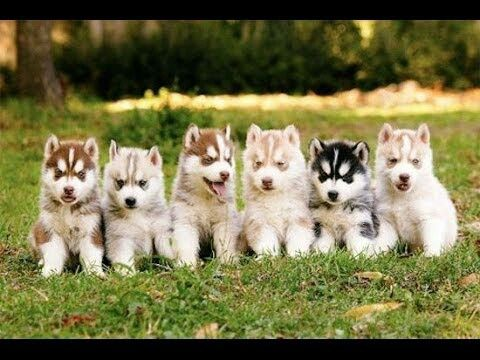 Island Puppies Cute Animals Cute Husky Puppies Cute Dogs