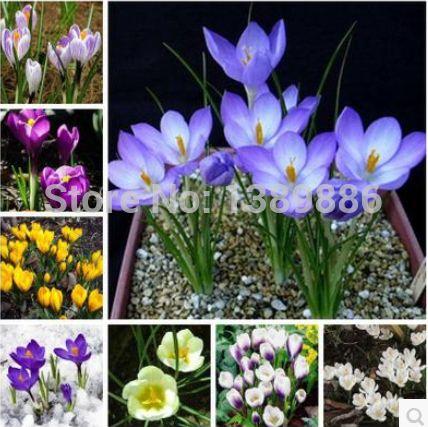 Hoa Nghệ tây (Crocus sativus) là một loài hoa thuộc họ Diên vĩ, hoa có mầu sắc và hình dáng vô cùng quyến rũ. Từ những thân cây nhỏ mảnh mai dưới đất lại có thể đơm ra những bông hoa to đẹp rực rỡ với mùi hương vô cùng quyến rũ.