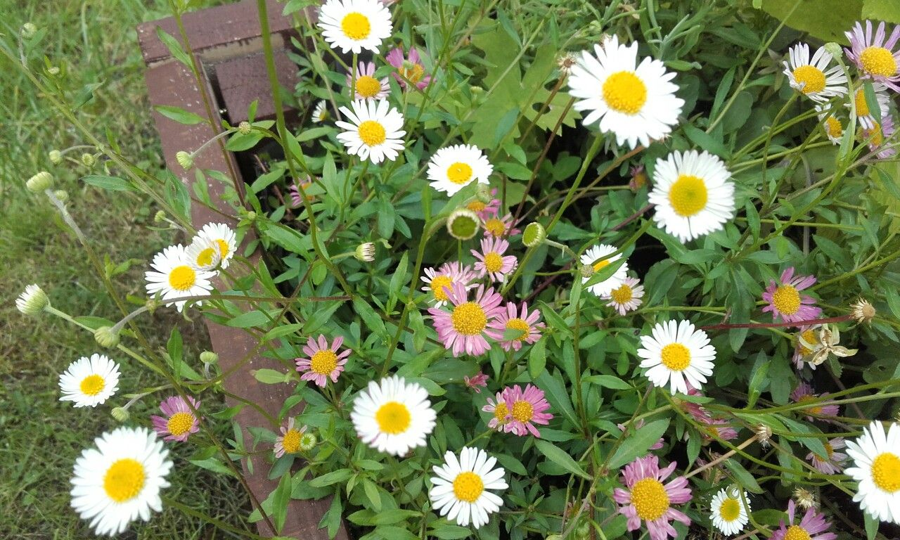 Pretty erigeron stallone delicate white daisy like flowers fading pretty erigeron stallone delicate white daisy like flowers fading to pink end may izmirmasajfo
