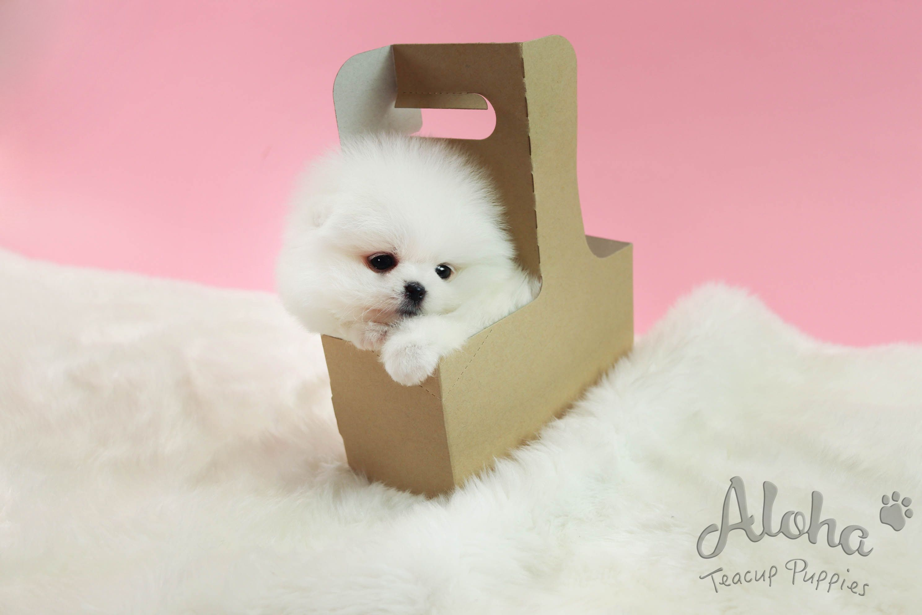 Pure Snow White Pomeranian Https Www Alohateacuppuppies Com Pomeranian Teacuppome With Images Teacup Puppies For Sale Teacup Puppies Cute Teacup Puppies