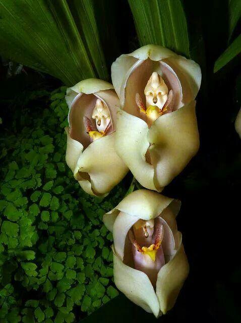 Orquídea Anguloa Uniflora