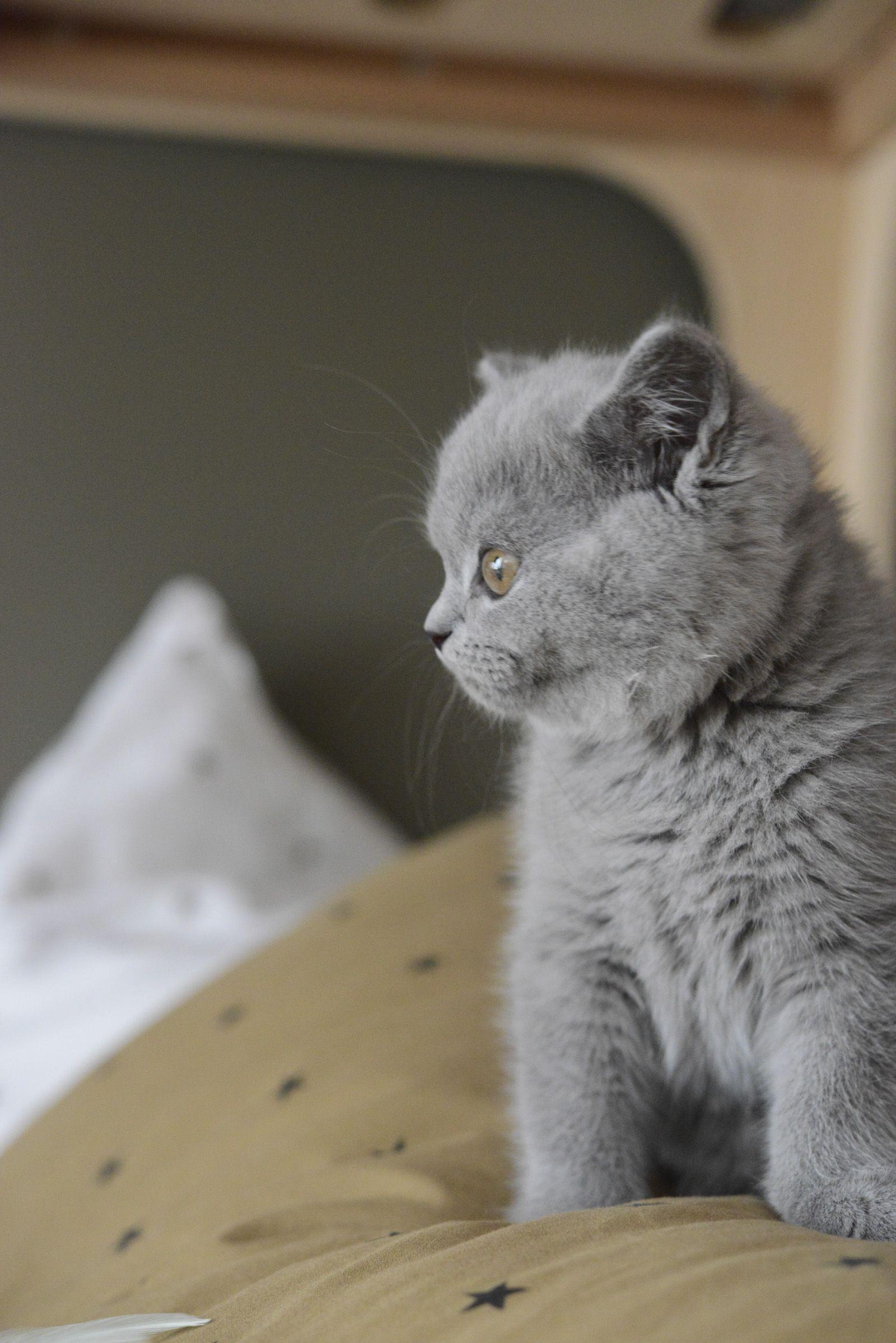 Mon British Shorthair British Shorthair Cats Cats Chartreux Cat