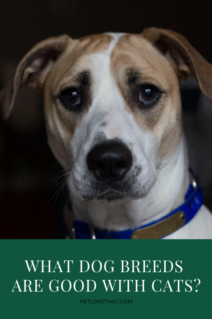 What Dog Breeds Are Good with Cats Dog breeds, What dogs