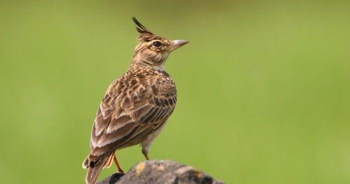 طائر القبره المتوجه Animals Photo Birds