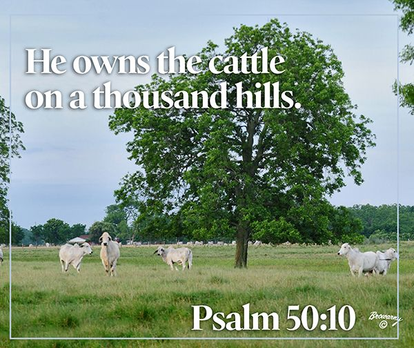 Image result for cattle on a thousand hills