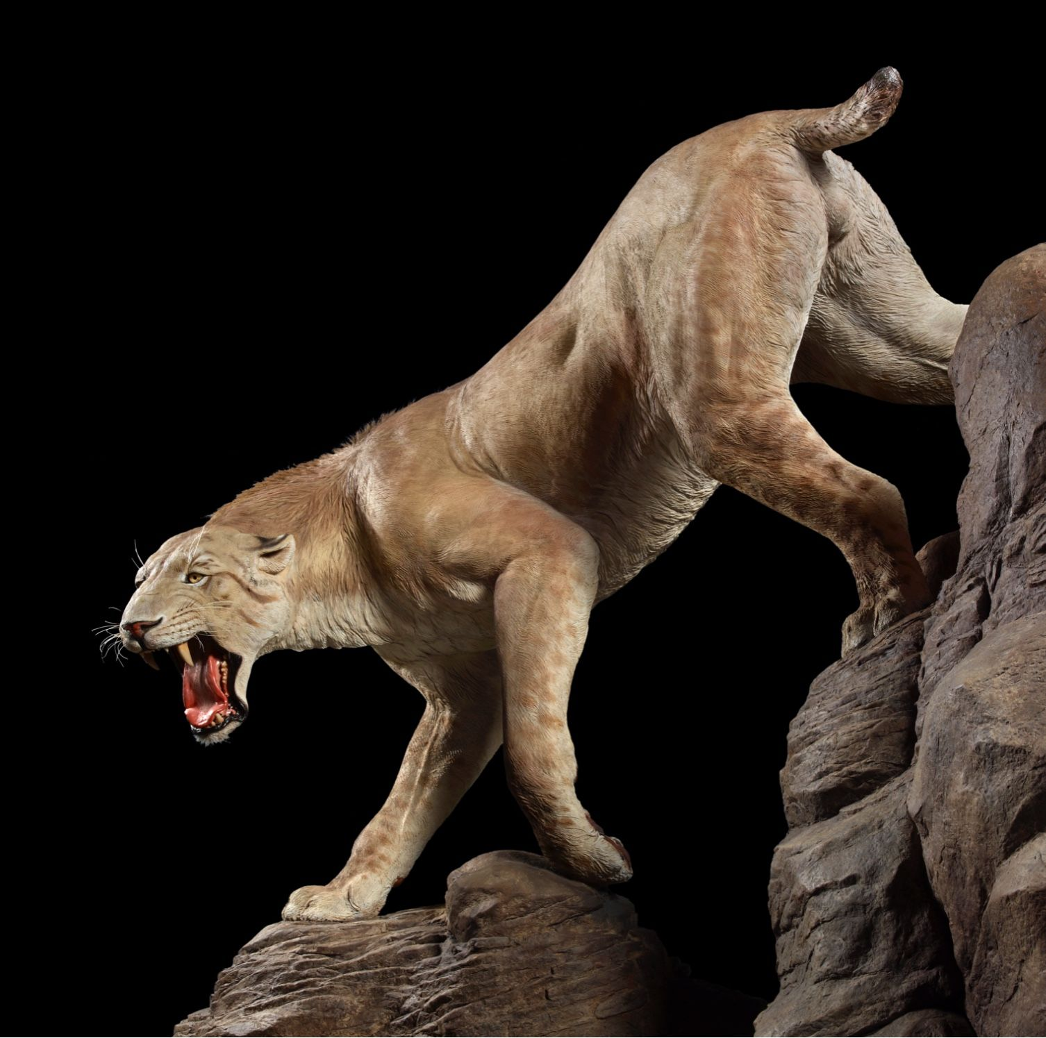 Life reconstruction of smilodon, an extinct sabertooth cat