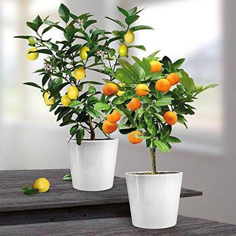 Oranger Et Citronnier En Pot C Est Possible Arbres En Pots Citronnier Astuce Jardin