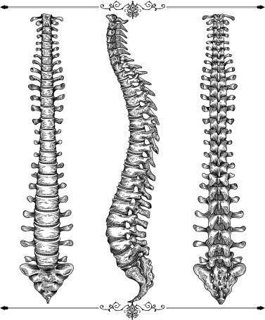 pics for gt skeleton spine drawing