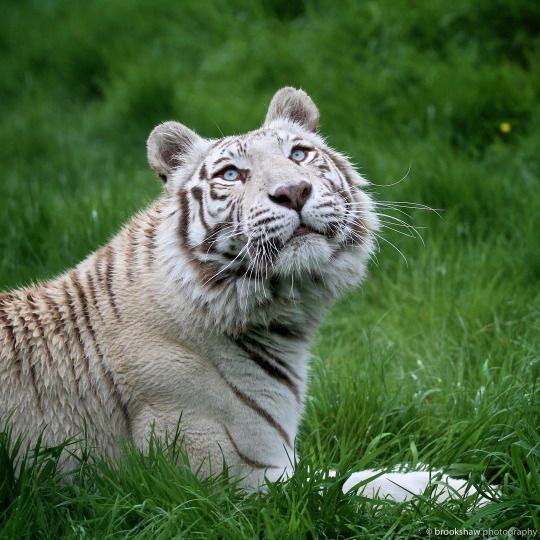 Another image of Narnia, the striking White Tiger at WHF Big Cat Sanctuary…  White Tigers have a very controversial history. Please take time to read this:  http://bigcatrescue.org/abuse-issues/issues/white-tigers/