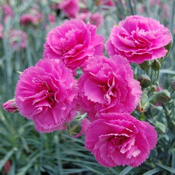 dianthus plumarius lily the pink illet mignardise fleurs doubles rose violac extr mement. Black Bedroom Furniture Sets. Home Design Ideas