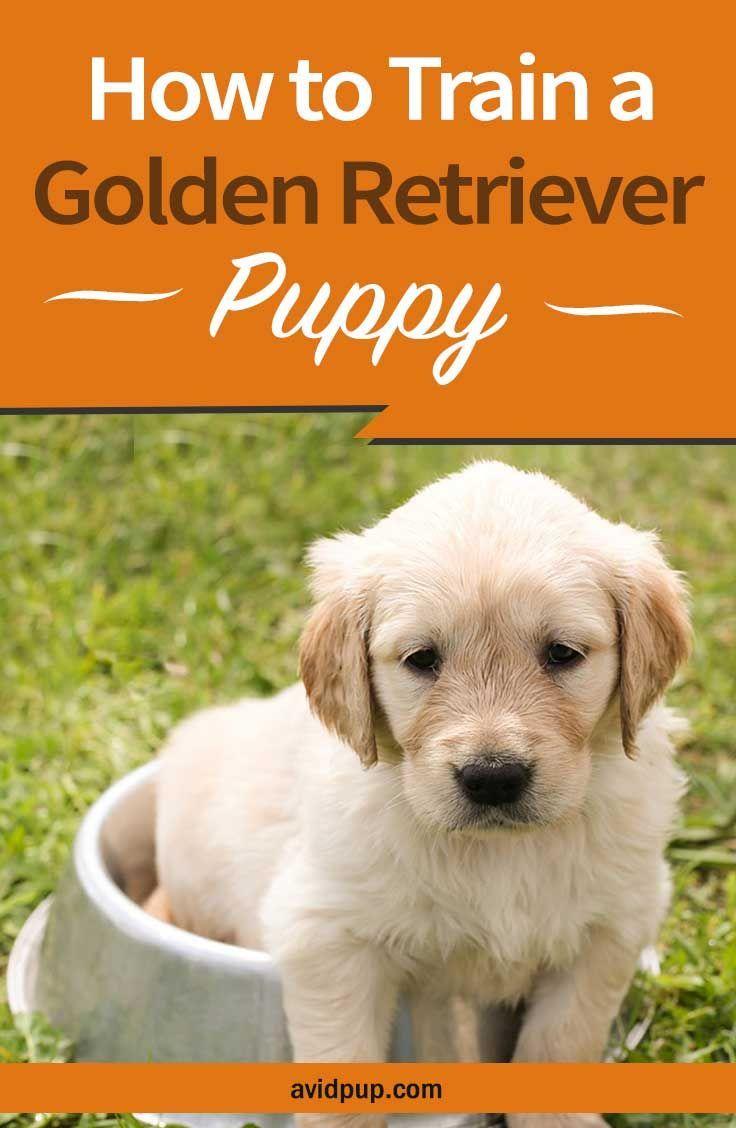 How to train a golden retriever puppy13 tips tricks