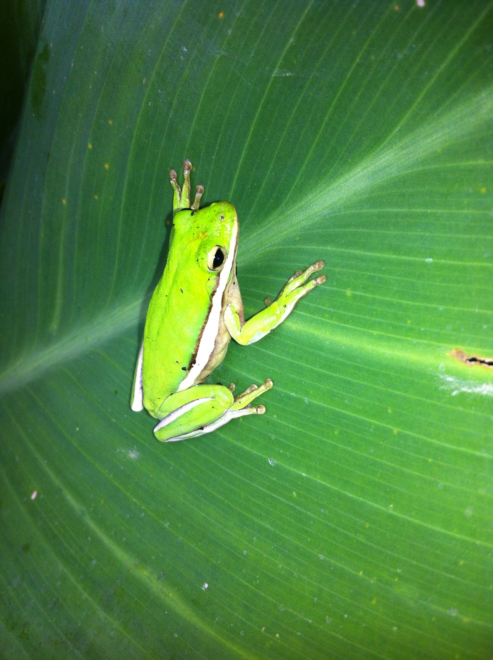 Tree frog in our back yard. Florida | Tree frogs, Animals ...
