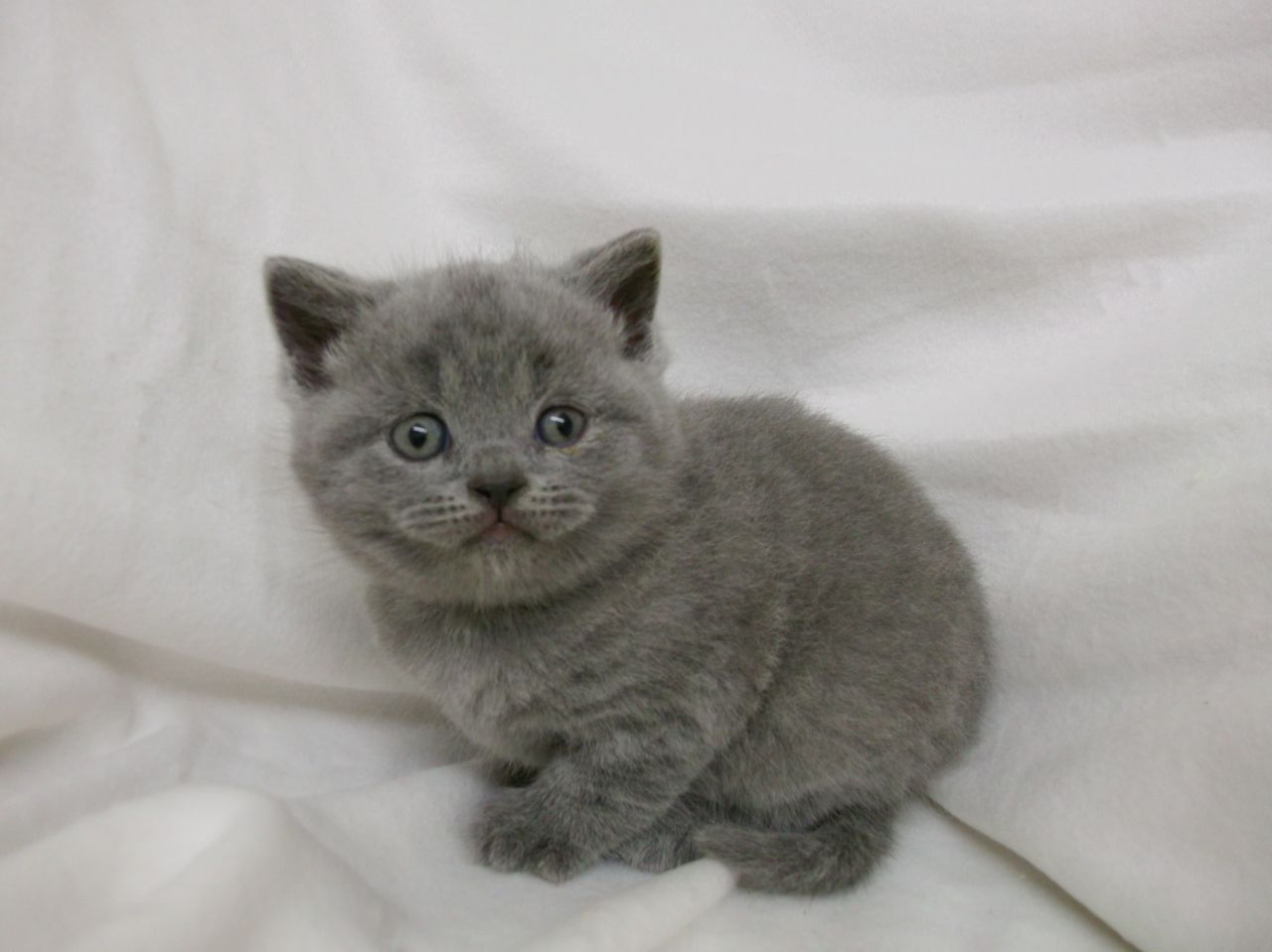 Freenom World British Blue Cat Cats For Sale Blue Cats