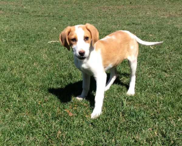 Adorable purebred Walker Foxhound puppies dogs, puppies