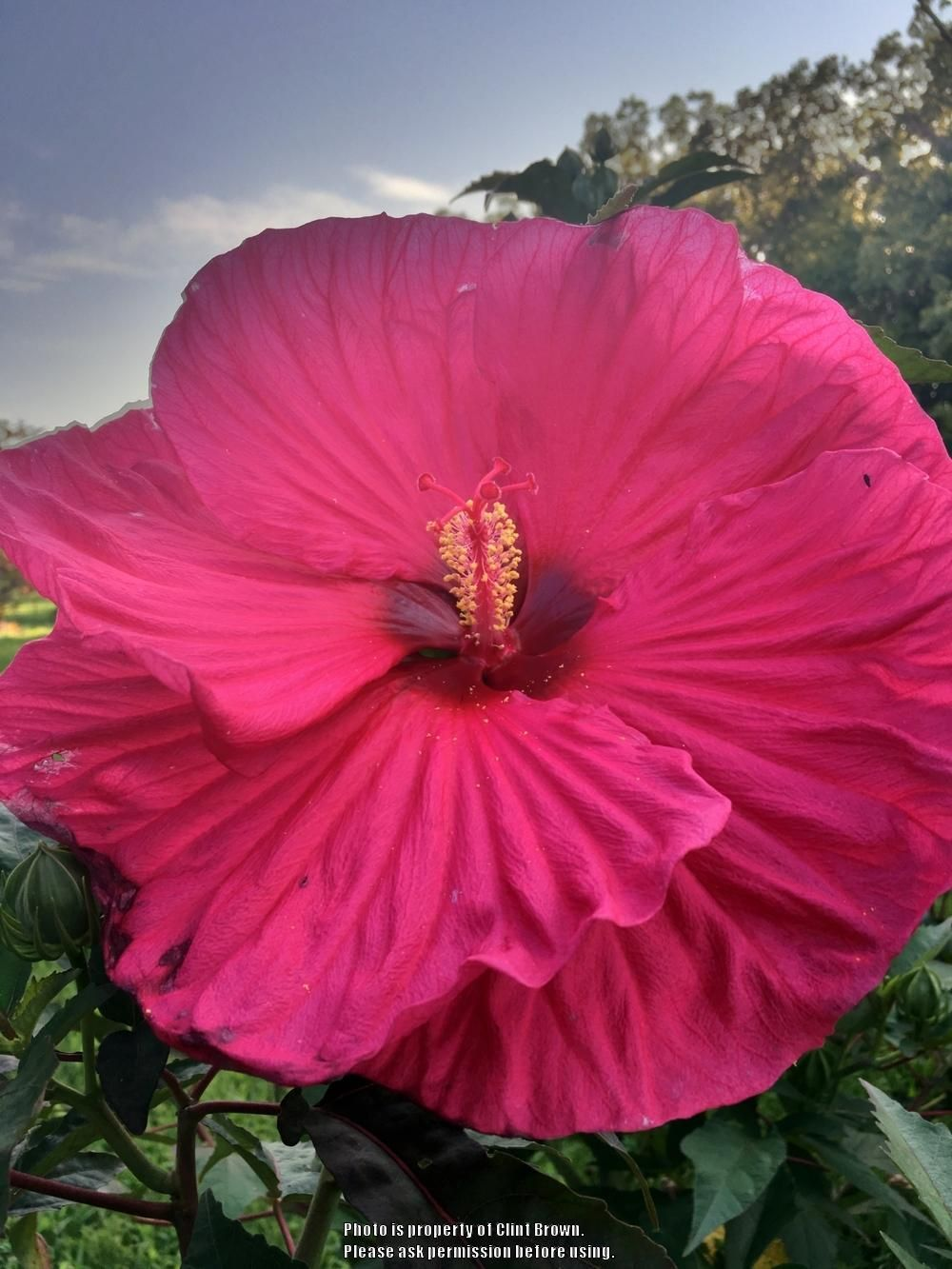 Photo Of Hibiscus Summer In Paradise Uploaded By Clintbrown Hibiscus Hibiscus Flowers Hardy Hibiscus Hibiscus Flower Drawing