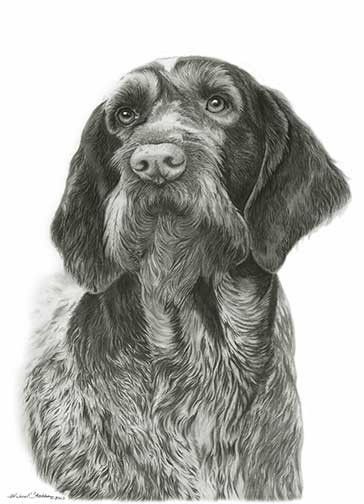 German Wirehaired Pointer | Perfectly capturing the texture of the curly wirehaired coat and that soft puppy nose, this pencil print is the perfect addition to any art collection