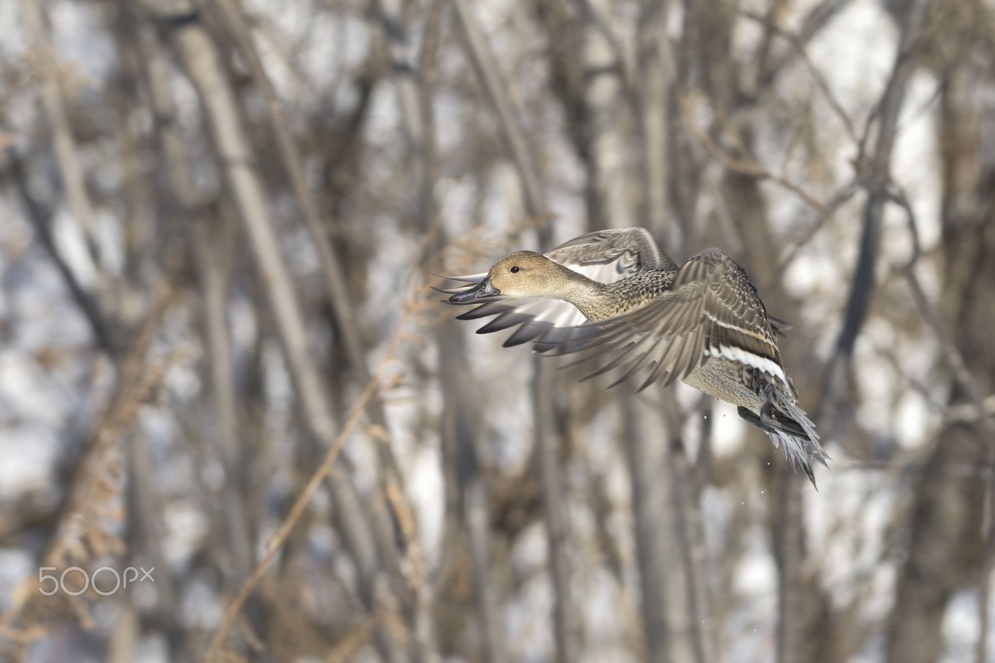 Northern pintail - null