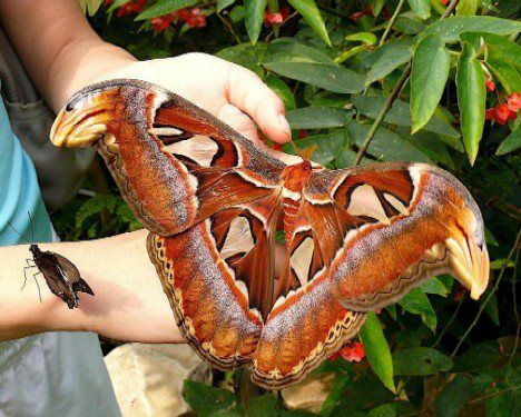 The world's largest butterfly is the Queen Alexandra's birdwing from Papua New Guinea with a wingspan of 28 cm (11 in).
