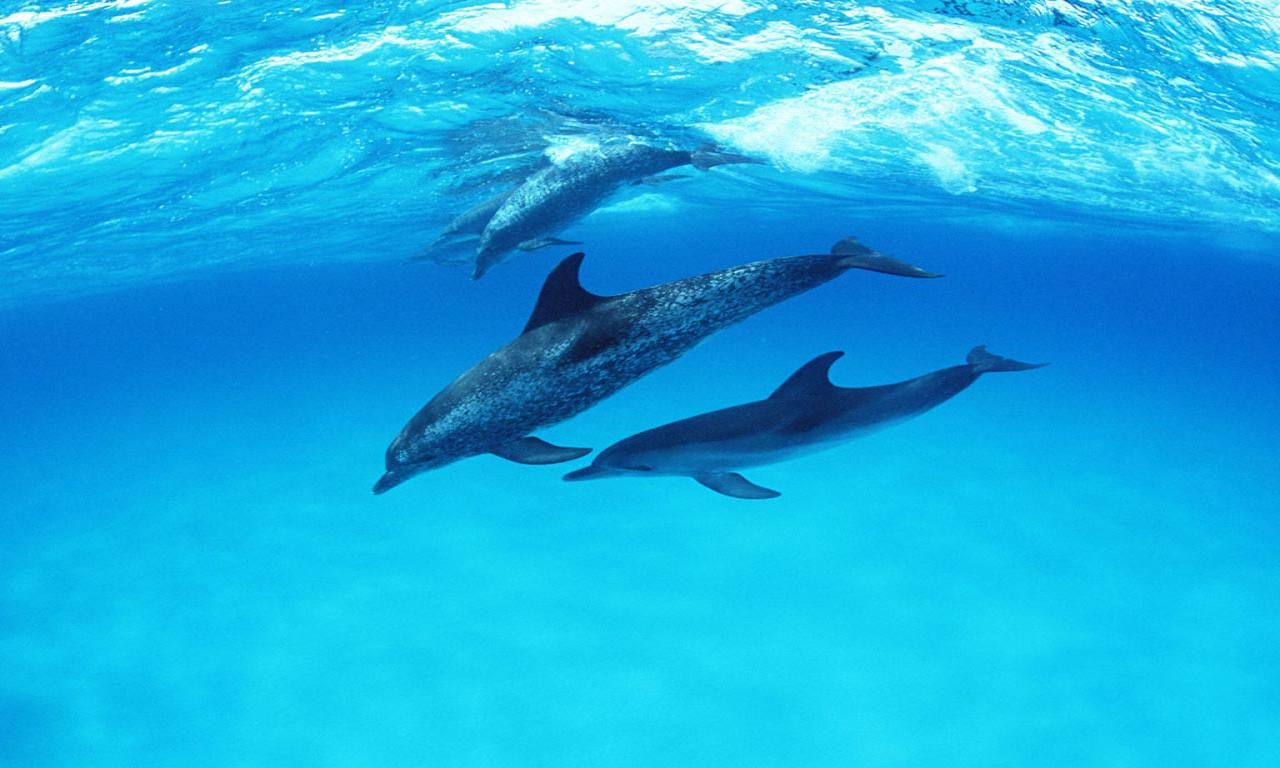 Dolphin HD Wallpapers Backgrounds Wallpaper