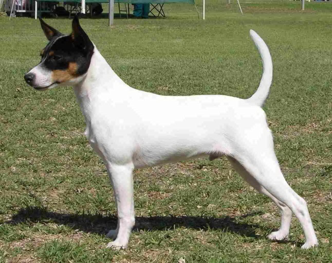 Tenterfield-Terrier-White-Dog-Wallpaper.jpg (1292×1023)