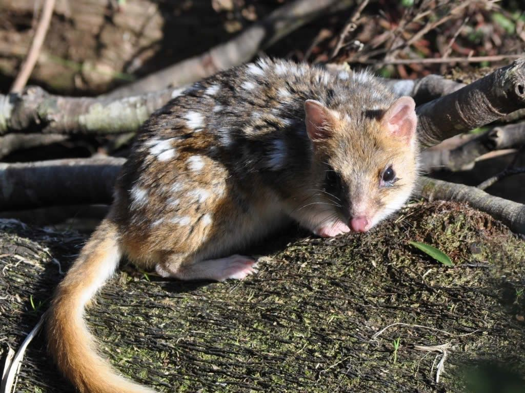Image result for southern quoll Wild dogs, Fennec fox, Hyena
