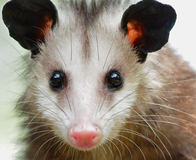 Juvenile Opossum by bsheridan1959 on Flickr.